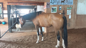 6 year old gelding for 1/2 lease