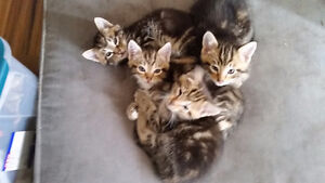 LOTS OF STRIPES! - Kittens To Give Away