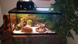 (2) Bearded dragons for sell