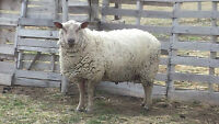 Pure Bred Registered Charollais Ram for sale (sheep)