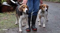 LOST - TWO FOXHOUNDS near Slesse Park, Chilliwack