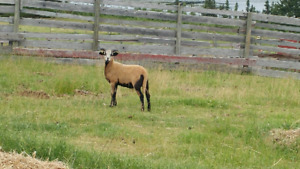 Two ram lambs for sale