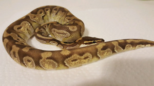 Ball python males for sale