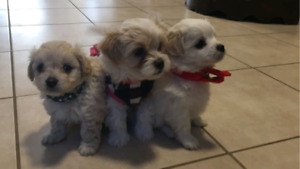 3 maltipoo puppies almost ready to go
