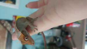 Crested gecko + tank and accessories and supplies