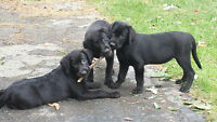 Beautiful Black Labrador - golden retriever Puppies 1 FEMALE