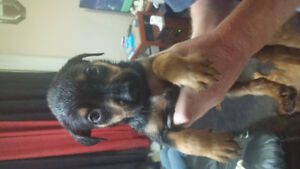 rottweiler/ german shepard/ boxer puppys for sale