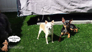 DAYCARE/SLEEPOVERS(SMALL DOGS)IN CAGE-FREE HOME SINCE 2010 West Island Greater Montréal image 1