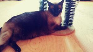 Lost Siamese Cat - Blue eyes, Dark Brown/chocolate fur, very fat