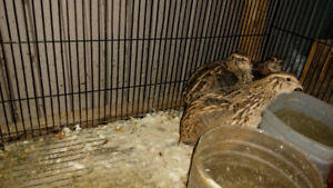 3 Japanese quails (1 year old) with cage