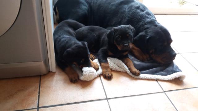 Rotweiller puppies for sale | in Stirchley, West Midlands | Gumtree