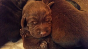 10 Adorable Black and Chocolate Lab Puppies