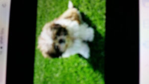 Wanted I realy need a shih tzu puppy