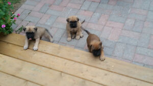 Bull Mastiff/ English Mastiff Pups