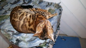 Breeder male bengal for sale