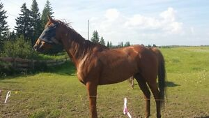 17hh Reg. Thoroughbred gelding