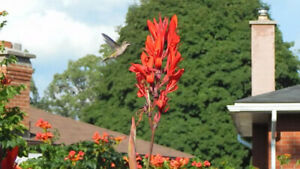 Canna, red, large tubers