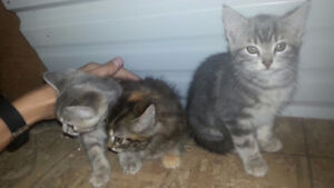 Three adorable kittens for sale