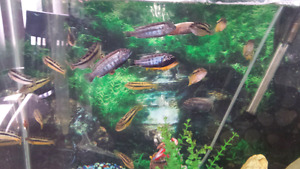 Cichlid Fry Feeder Fish