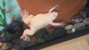 albino African clawed frog