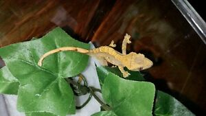 Crested Gecko from JP's Crested Crew St. John's Newfoundland image 6