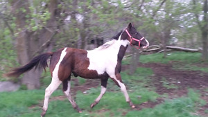 3yr old paint mare