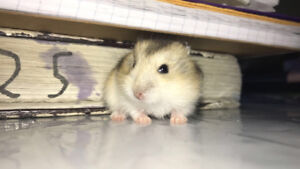 Baby dwarf hamster for sell ***cheap and cute***