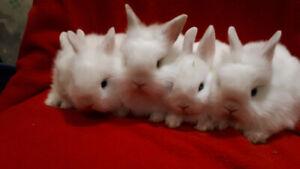 Rare blue-eyed white dwarf lionhead bunny rabbits