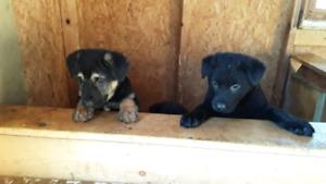 Lab x  Shep  puppies