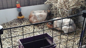 3 Guinea pigs and all accessories