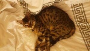Missing Bengal Cat