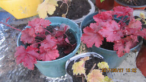 Heuchera Fire Chief, Heuchera Kassandra