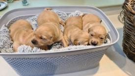 KC Golden Retriever puppies