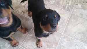 Female Rottweiler with a tail ready to go! $750