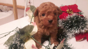 Very small female toy poodle