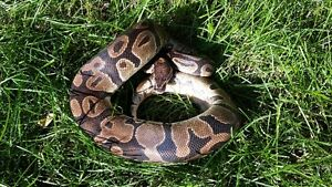 2 yr old Male Ball Python for Sale
