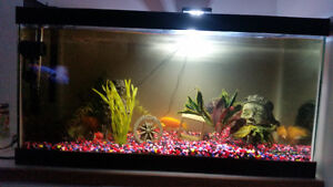 African Cichlids and 50 gallon tank