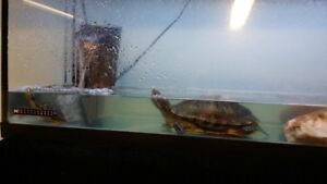 Turtles 2x Red ear'd sliders (aquarium bred and raised)