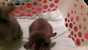 Baby Holland Lop Mix, Minirex Purebred, Netherland Dw./Lop Cross