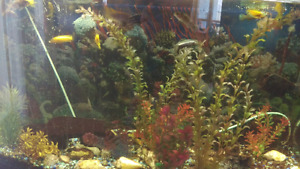 50 gallon bow front aquarium with stand and 20 cichlid