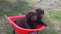 Purebred CKC registered Chocolate Labrador Puppies for Sale