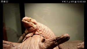 Free bearded dragon