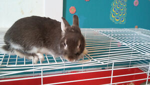 dwarf rabbit for sale/trade/price reduced