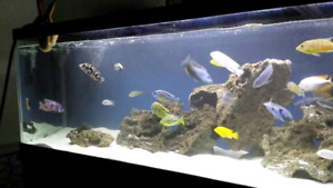 Wanted: African Cichlids