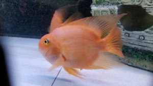 """Beautiful and lovely 2 red parrot fish size XL 8""""-9"""""""