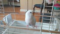 Lost White and Baby Blue Budgie