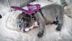 Top Quality CKC Blue French Bulldog Puppies
