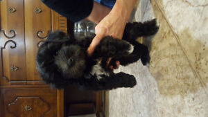 Last puppy for sale Lhasa Bichion