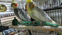 Pair of Cockatiels with cage & accessories.