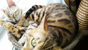 Lewis registered Male Brown Spotted Bengal!